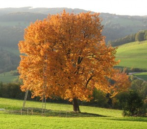 Elsbeere-herbstbaum-kopie-300x264 in